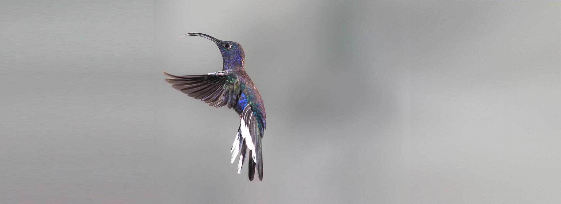 slide4_colibri1
